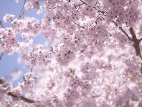 ANAクラウンプラザホテル大阪から近い桜