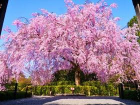 退蔵院 しだれ桜イメージ写真です