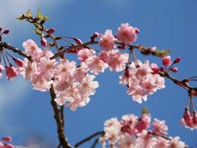はかなく、美しい桜を見に。お越しください