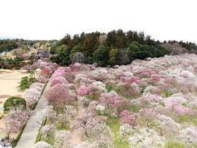 日本三名園水戸の偕楽園 梅のお花見に