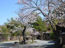 庭園に咲くソメイヨシノ
