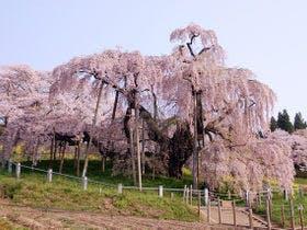 日本三大桜 三春の滝桜