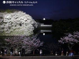 彦根城満開の桜