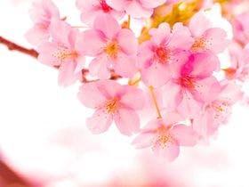 2月上旬から3月上旬までに咲く河津桜