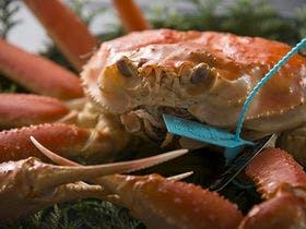 黒タグ付き橋立蟹