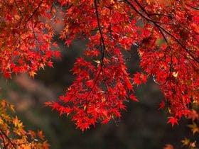 秋は紅葉に包まれます(毎年11月頃から)