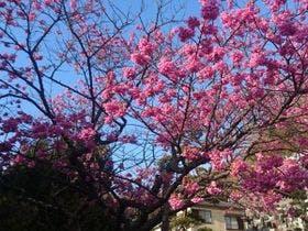 日本一早咲きの桜で冬の花見を
