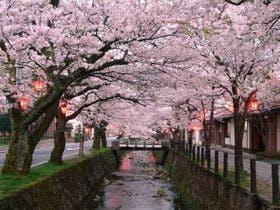 大谷川の桜