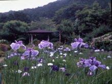 六百坪の菖蒲園 五百種の花菖蒲