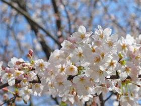 桜の苗木をお植えください