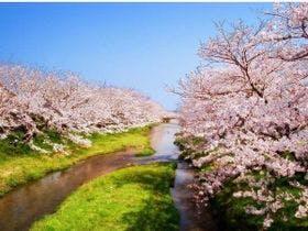 川沿いに咲く桜並木を歩いて散策