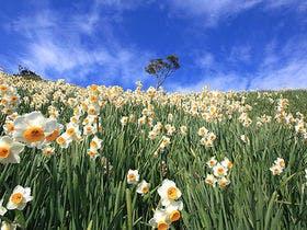 斜面になだれ咲くような水仙の絨毯