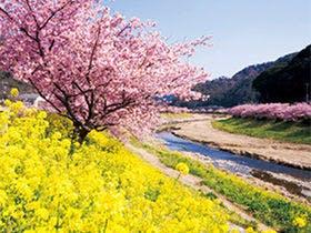 河津桜風景