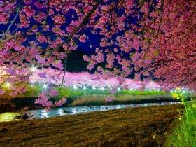 ライトアップされた河津桜