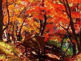 諏訪橋の紅葉(見ごろ:11月初旬)