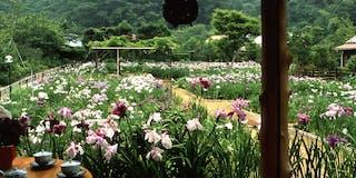 五百種、六百坪の花菖蒲園